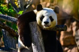 panda-bear-1086012_640